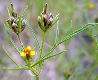 Heterosperma pinnatum