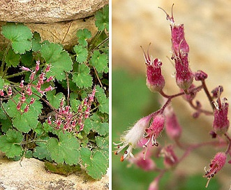 Heuchera rubescens