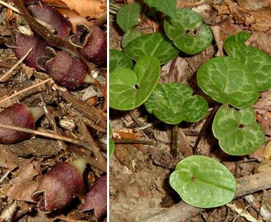 Hexastylis virginica