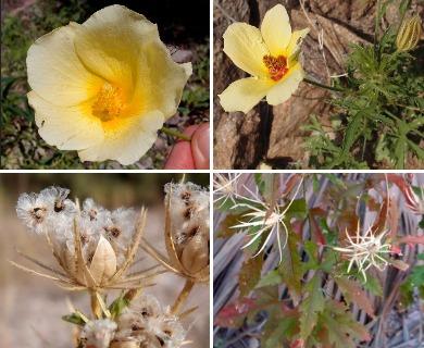 Hibiscus biseptus