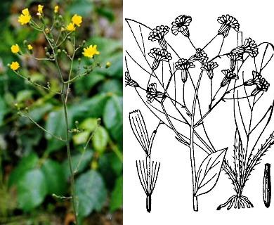 Hieracium marianum