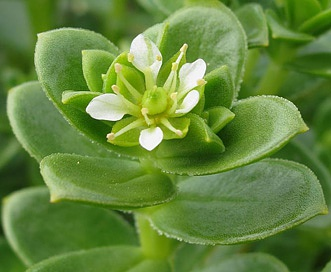 Honckenya peploides