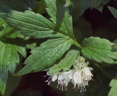 Hydrophyllum fendleri