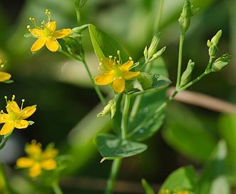 Hypericum mutilum