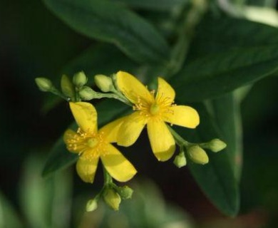 Hypericum nudiflorum