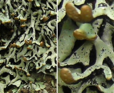 Hypogymnia krogiae