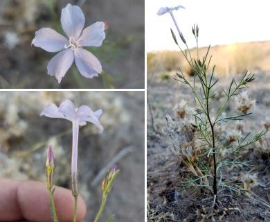 Ipomopsis laxiflora