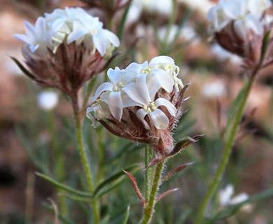 Ipomopsis roseata