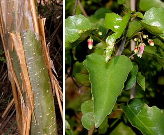 Jatropha cordata