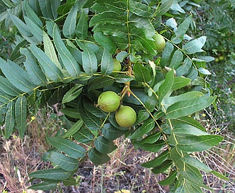 Juglans californica
