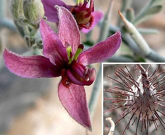 Krameria bicolor