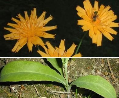 Krigia biflora