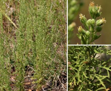 Laennecia sophiifolia
