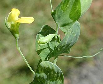 Lathyrus aphaca