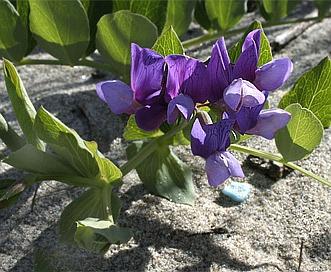 Lathyrus japonicus