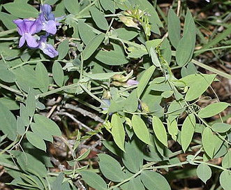 Lathyrus pauciflorus