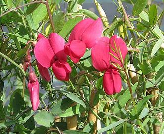 Lathyrus splendens