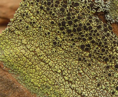 Lecanora argopholis