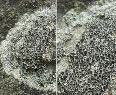 Lecanora gangaleoides