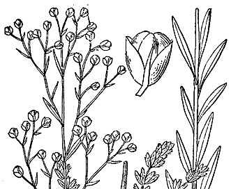 Lechea intermedia