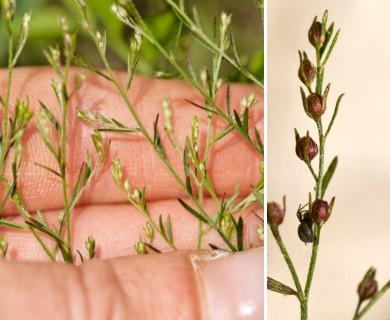 Lechea tenuifolia