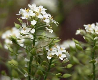 Lepidium eastwoodiae
