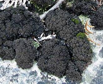 Leptogium lichenoides
