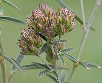 Lespedeza angustifolia