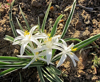 Leucocrinum montanum