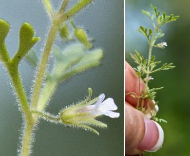 Leucospora multifida