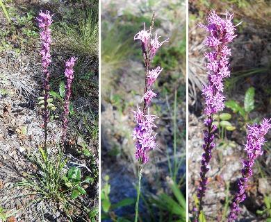 Liatris tenuifolia