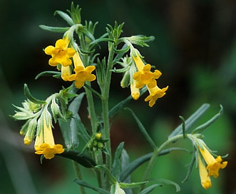 Lithospermum multiflorum