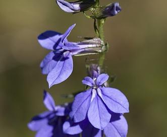 Lobelia amoena