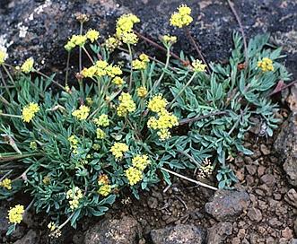 Lomatium greenmanii