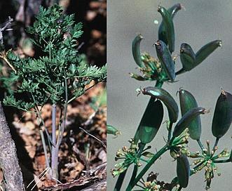 Lomatium juniperinum