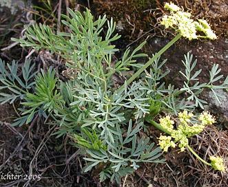 Lomatium laevigatum