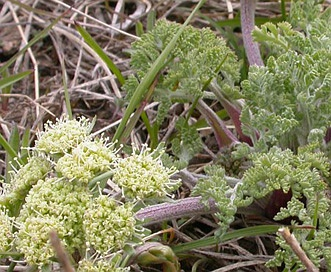 Lomatium macrocarpum