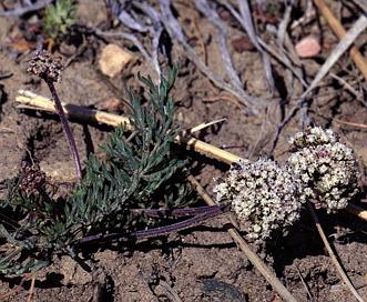 Lomatium orientale