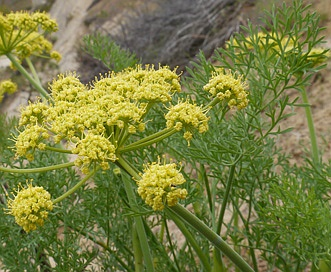 Lomatium thompsonii