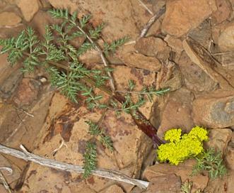 Lomatium vaginatum