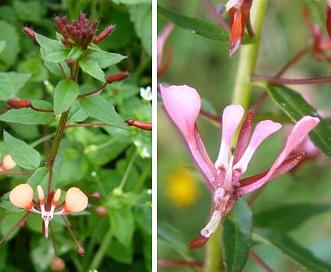 Lopezia racemosa