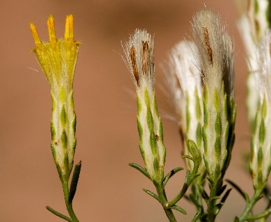 Lorandersonia pulchella