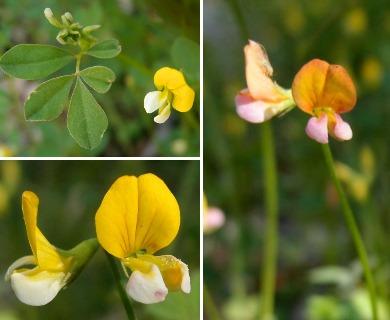 Lotus alamosanus