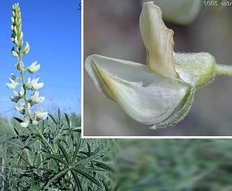 Lupinus garfieldensis