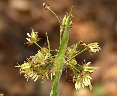 Luzula acuminata
