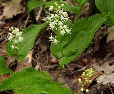 Maianthemum canadense