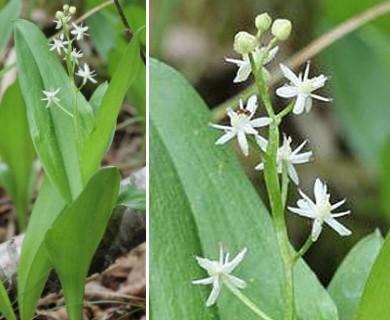 Maianthemum trifolium