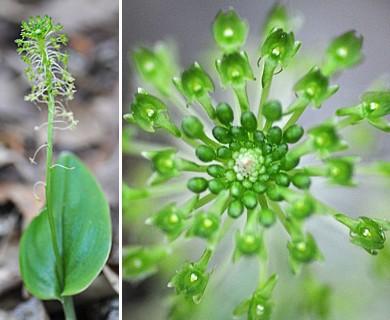 Malaxis unifolia