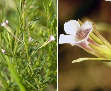 Mecardonia acuminata