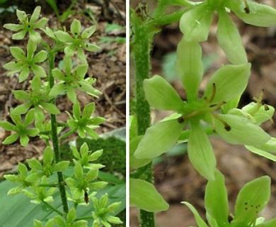 Melanthium woodii